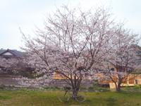 Sakura01_5
