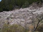 Sakura02_1
